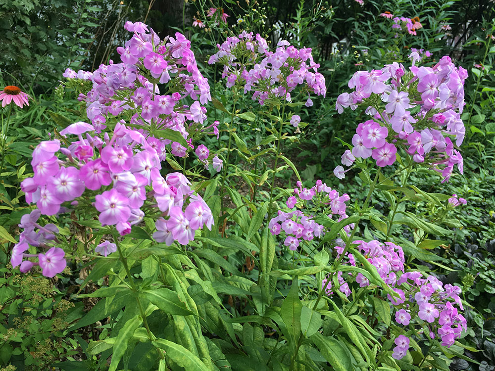Native phlox