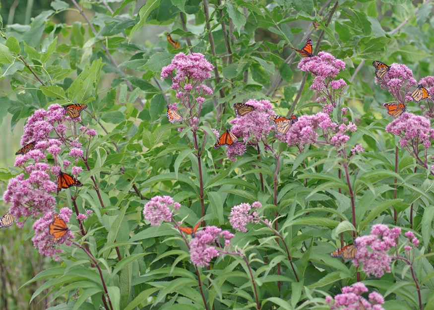 Monarch butterflies on native Joe Pye Weed