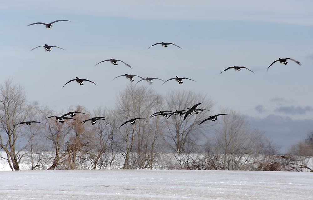 A flock of Canada Geese land on the Lakefront.