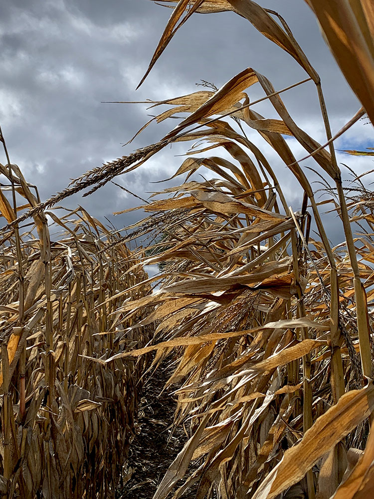 Corn Stalks in the Wind