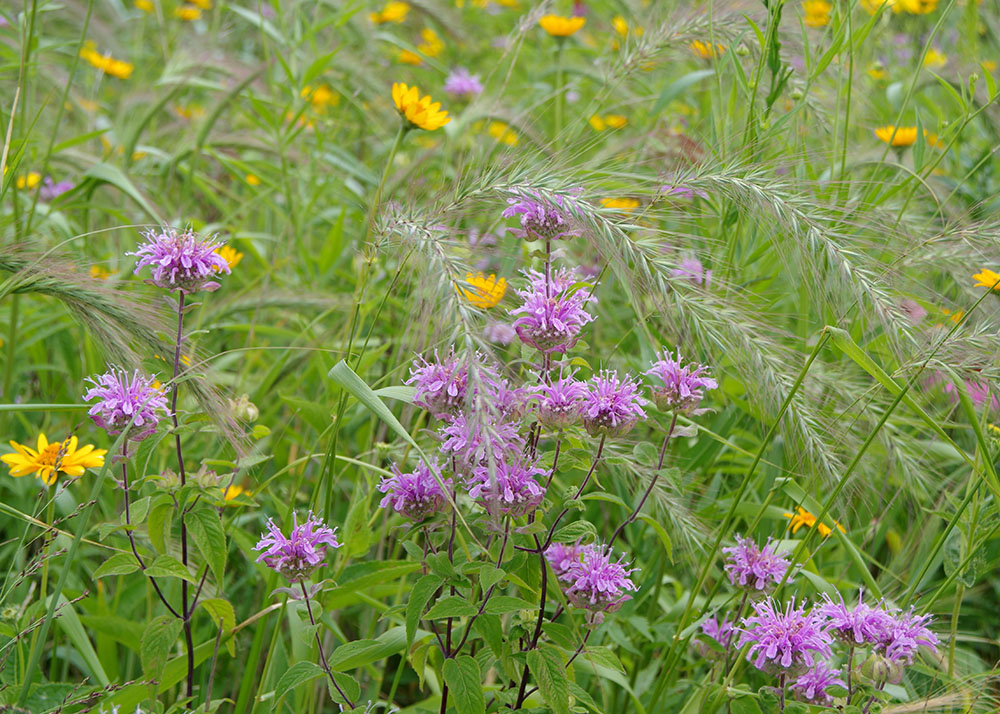 Native wildflowers and grasses
