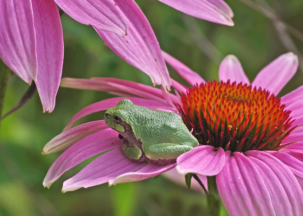 Tree frog on purple coneflower