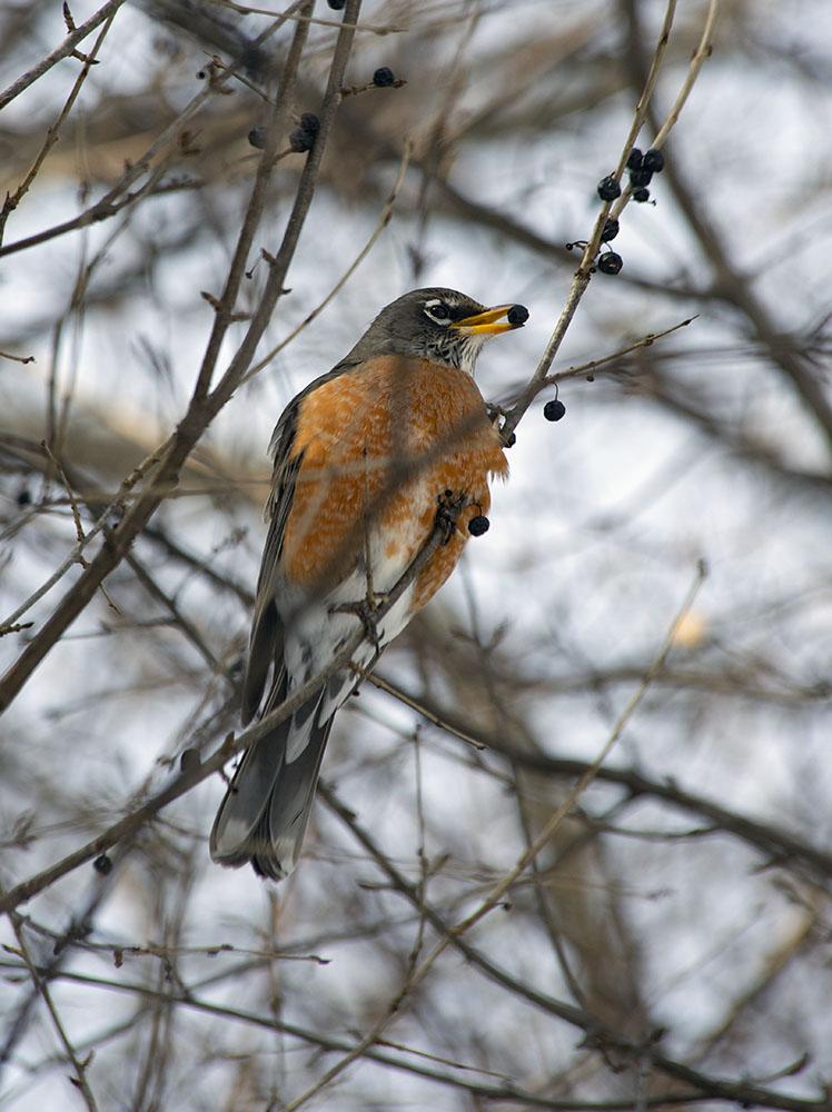 A robin eating a buckthorn berry